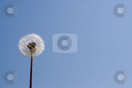 Dandelion Seeds stock photo, Low angle view of dandelion seeds shot against a blue sky by Richard Nelson