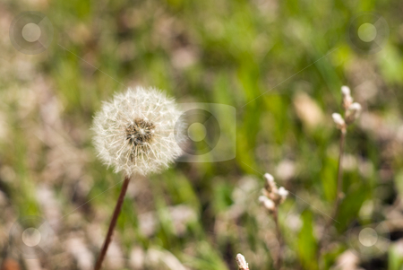 Dandelion Seeds stock photo, Dandelion seeds shot against a grassy green background by Richard Nelson