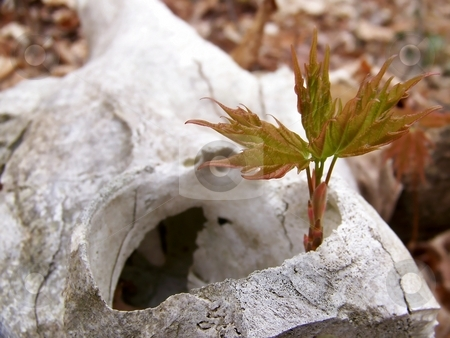 Deer Skull and Maple Sapling stock photo, Image of a maple sapling growing up through a deer skull. by Jill Oliver