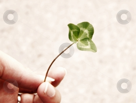Hand and Clover stock photo, Image of a single piece of bright green clover, being held by a hand.  Soft focus and horizontal orientation. by Jill Oliver
