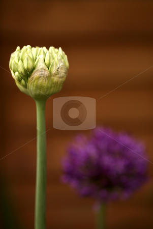 Purple and White Alliums stock photo, Extreme depth of field on these Purple and White Alliums, with the focus on the white Alluim in the back, set against a deep red/rust fenced background. by Tim Green