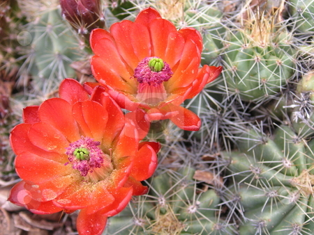 Dome Cactus Bloom stock photo, A dome cactus, with a bright red blossom(s). by Caley Gonyea