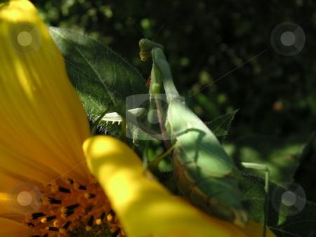Praying Mantis on Sunflower stock photo, A close-up of a praying mantis on a sunflower. by Caley Gonyea