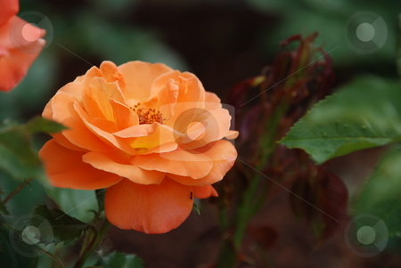 Peach Rose stock photo, A peach rose in a well-tended garden. by Caley Gonyea