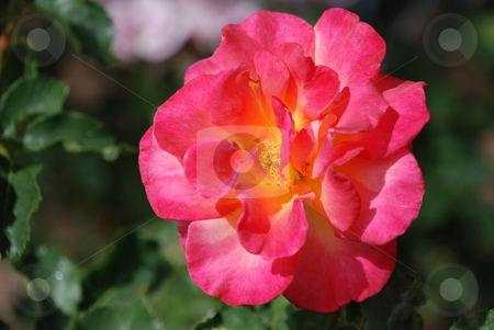 Tropical Pink Rose stock photo, Pink, yellow, and some orange mixed colors, blending nicely to form a tropical looking rose. by Caley Gonyea