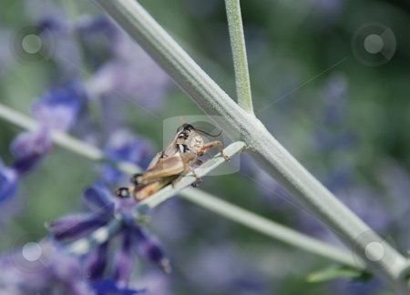 Grasshopper on Russian Sage stock photo, A close up of a grasshopper on a Russian Sage branch. by Caley Gonyea