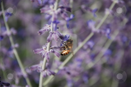 BumbleBee on Russian Sage stock photo, A close up of a bee on the branch of a Russian Sage. by Caley Gonyea