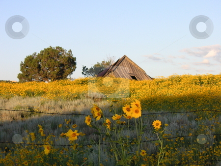 Old Barn Falling Among Sunflowers stock photo, An old, delapidated barn among a large field of wild sunflowers-taken just as the sun was rising behind. by Caley Gonyea