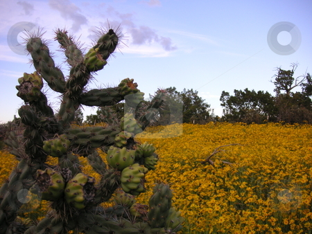Cactus and Sunflower Field stock photo, A cholla cactus in front of a field of sunflowers. by Caley Gonyea