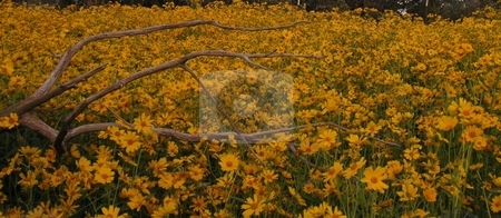 Log Laying Amidst Sunflowers stock photo, A log laying amidst a field of sunflowers. by Caley Gonyea