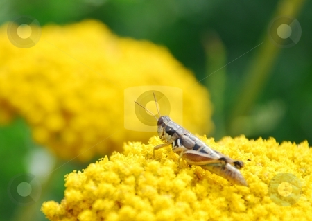 Grasshopper on Yarrow stock photo, A grasshopper resting on the top of a yellow yarrow bush. by Caley Gonyea