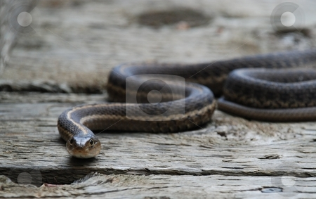 Sly, Slithering Snake stock photo, A snake, uncoiling itself, slithering across  wooden planks of a boardwalk. by Caley Gonyea