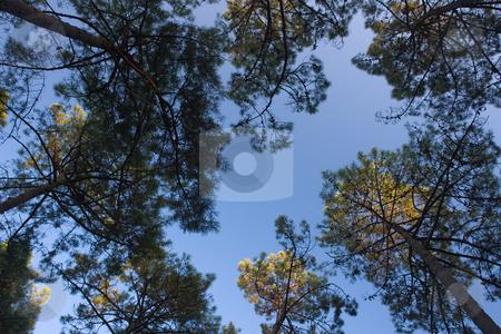 Pinie (Pinus pinea) stock photo, Die Pinie (Pinus pinea), auch Schirmpinie bzw Mittelmeerkiefer genannt, geh?rt zur Gattung der Kiefern (Pinus) aus der Familie der Kieferngew?chse (Pinaceae). Quelle: Wikipedia http://de.wikipedia.org/wiki/Pinie by Wolfgang Heidasch
