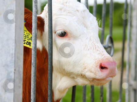 Calf stock photo, A photography of a calf in the cage by Markus Gann