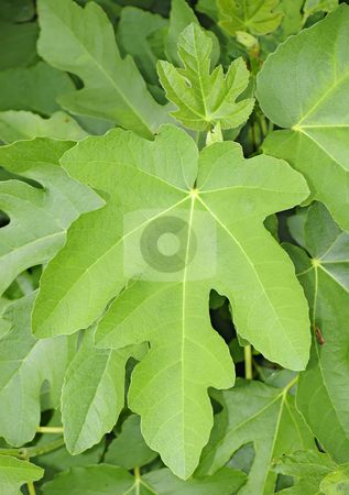 Fig leaf stock photo, A photography of a fresh green fig leaf by Markus Gann