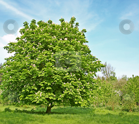 Chestnut tree with blossom stock photo, A photography of a chestnut tree with blossom by Markus Gann