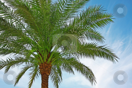 Palm tree stock photo, A photography of a palm tree green leaf by Markus Gann