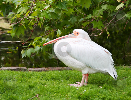 Pelican stock photo, A photography of a white standing pelican by Markus Gann