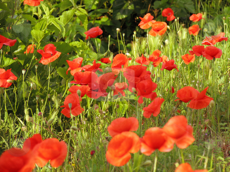 Poppy stock photo, A photography of a field with red poppy by Markus Gann