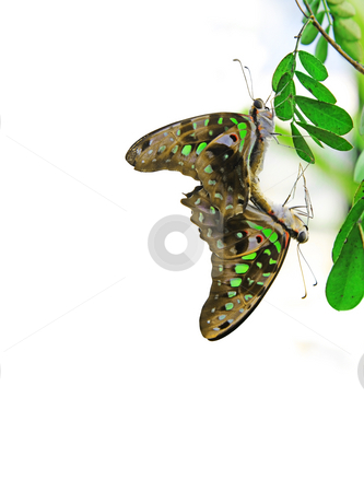 Two butterfly stock photo, A Photograph of two beautiful butterfly having sex by Markus Gann