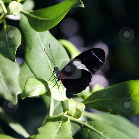 Beautiful black butterfly stock photo, A Photograph of a beautiful black butterfly by Markus Gann