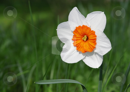 Jonquil stock photo, A photography of a white Jonquil in a green garden by Markus Gann