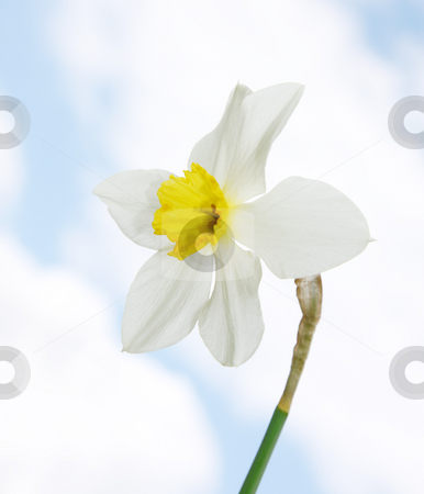 Daffodil stock photo, A photography of a bright white daffodil by Markus Gann