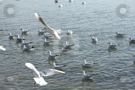 Seagulls at the lake stock photo, A Photograph of a swarm seagulls at the lake by Markus Gann