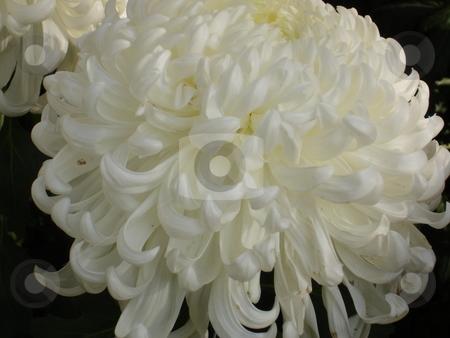 Chrysanthemum stock photo,  by E Tsukamoto