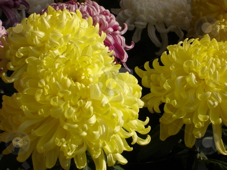 Chrysanthemum stock photo,  by E Tsukamoto