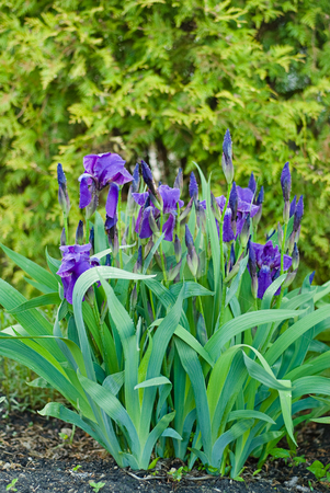 Iris stock photo, A flower garden full of iris flowers by Richard Nelson
