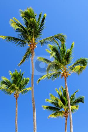 Palms on blue sky background stock photo, Sunlit palm trees on blue sky background by Elena Elisseeva
