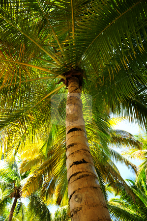 Palm tree canopies in tropical forest  stock photo, Palm tree canopies in tropical forest on a Caribbean island by Elena Elisseeva