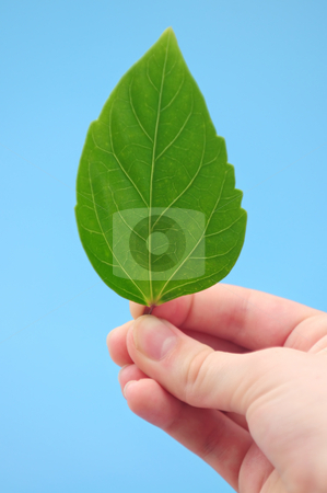 Hand holding green leaf stock photo, Hand holding fresh green leaf on blue background by Elena Elisseeva
