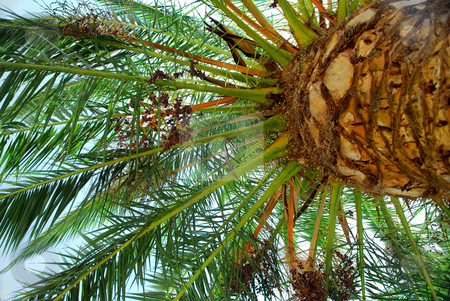 Palm tree canopy stock photo, Canopy of a young date palm tree by Elena Elisseeva