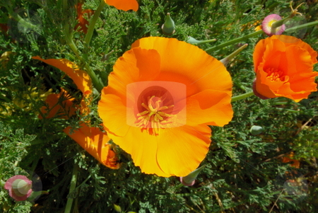 Orange Poppy stock photo, Looking down into the flower of an orange california poppy. by Lynn Bendickson