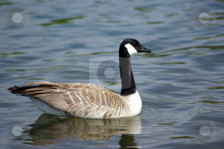 Canadian Goose stock photo, An alert Canadian Goose floating on a lake by Lynn Bendickson