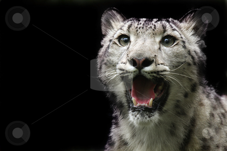 Snow Leopard stock photo, Snow Leopard with mouth open.  Isolated on black background. by Megan Lorenz