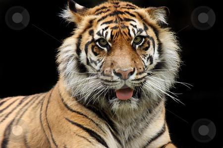Sumatran Tiger stock photo, Sumatran Tiger staring at the viewer with an aggressive expression. by Megan Lorenz