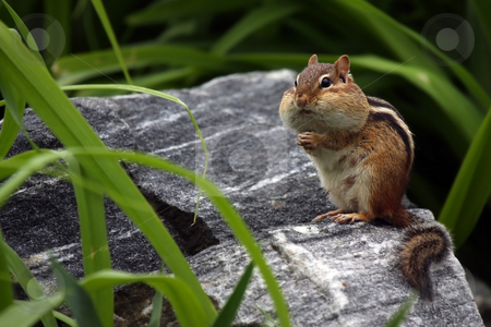 Chubby Cheeks stock photo, Cute Chipmunk with full cheeks staring at the photographer. by Megan Lorenz