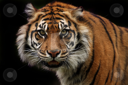 Nature Of Aggression stock photo, Sumatran Tiger staring at the viewer with a threatening expression.  Isolated on black background. by Megan Lorenz
