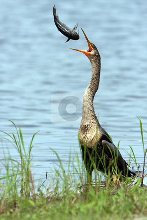 Predator  stock photo, Anhinga throwing a catfish into the air. by Megan Lorenz