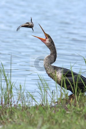 The Game stock photo, Snakebird also known as the Anhinga throwing a catfish into the air. by Megan Lorenz