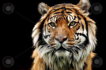 Instinct stock photo, Sumatran Tiger isolated on black background.  Tiger is staring at the viewer with a threatening expression. by Megan Lorenz