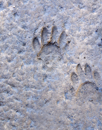 Raccoon Tracks stock photo, A pair of raccoon tracks made in mud. by Kathy Piper
