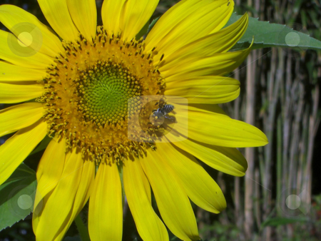 Bee Pollination stock photo, A bee is pollinating a young yellow sunflower by Rebecca Mosoetsa