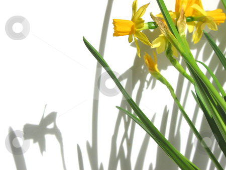 Daffodils and shadows stock photo, Daffodils and  their shadows on white background by Elena Elisseeva