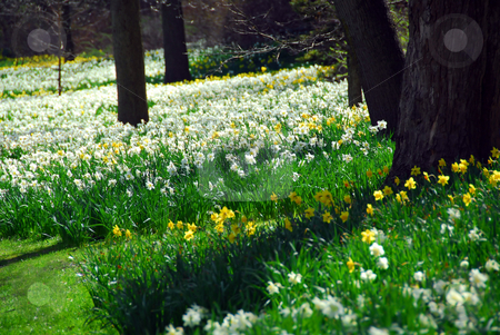 Blooming field stock photo, Field of blooming daffodils by Elena Elisseeva
