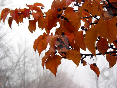 Foggy fall stock photo, Crabapple tree branch with bright orange leaves on a rainy foggy late autumn day by Elena Elisseeva