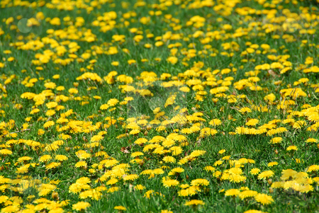 Dandelion field stock photo, Field of blooming dandelions by Elena Elisseeva